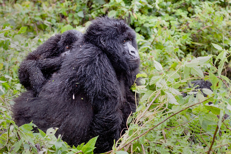 "Mountain Gorilla and Child ""Piggyback"""