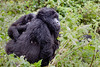 "Mountain Gorilla and Child ""Piggyback"" #1"