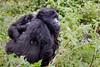 "Mountain Gorilla and Child ""Piggyback"""