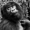 Mountain Gorilla Pose #1