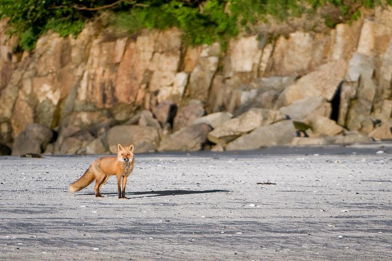Red Fox Pose #1