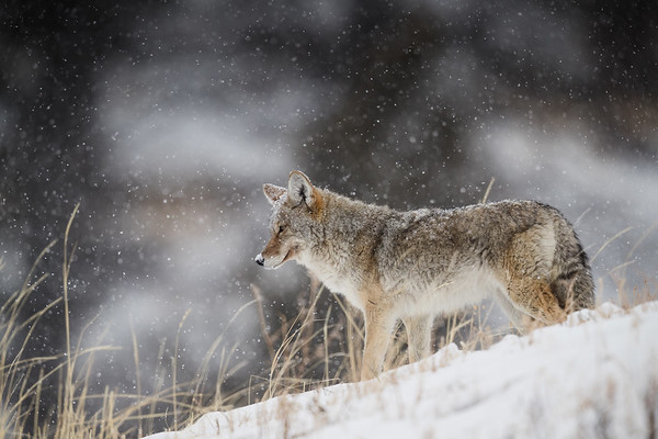 Coyote in Falling Snow