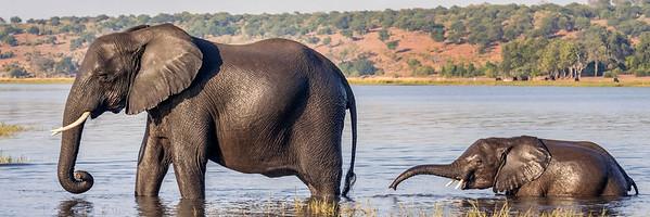 """Elephant """"Follow the Leader"""""""
