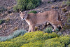 Patagonia Puma #1