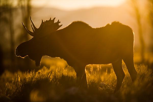 Moose silhouette