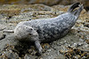 Harbor Seal #1