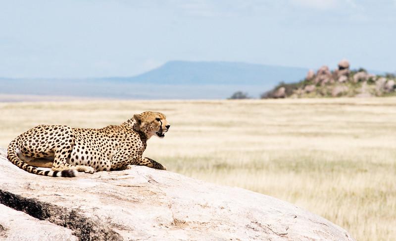 Cheetah #1