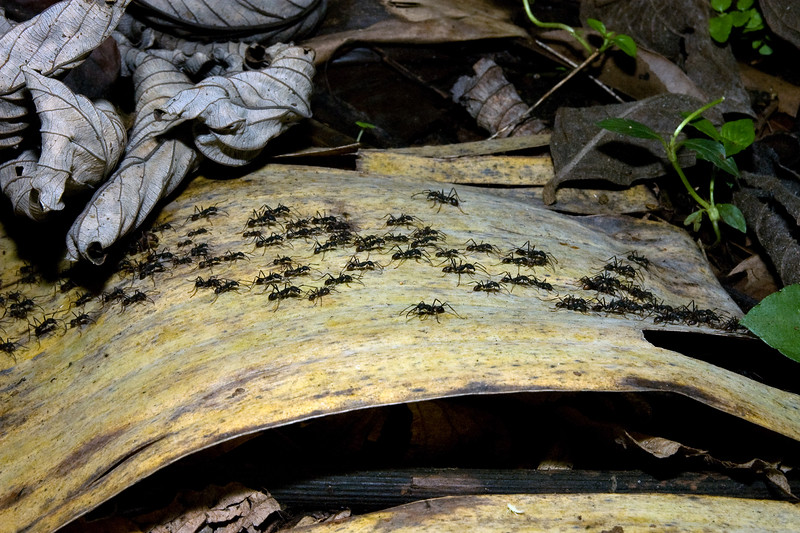 Army Ant March #1
