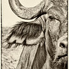Cape Buffalo Half Portrait # 3