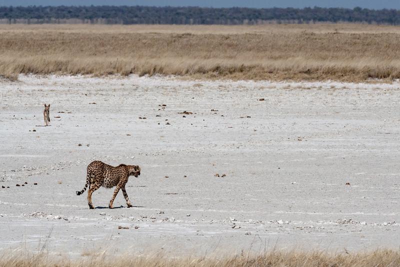 Cheetah & Black-backed Jackal