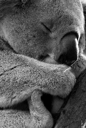 Koala #1, Controlled Environment, Sydney, Australia