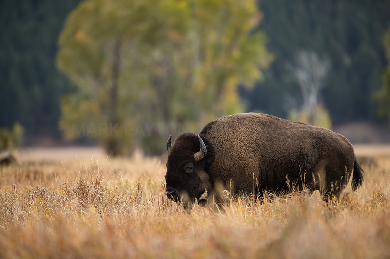 Bison Bull - Mormon Row