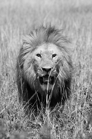 Male Lion #1 (black & white)