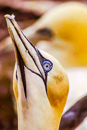Gannet On the Bass Rock Scotland