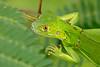 Juvenile Green Iguana #1