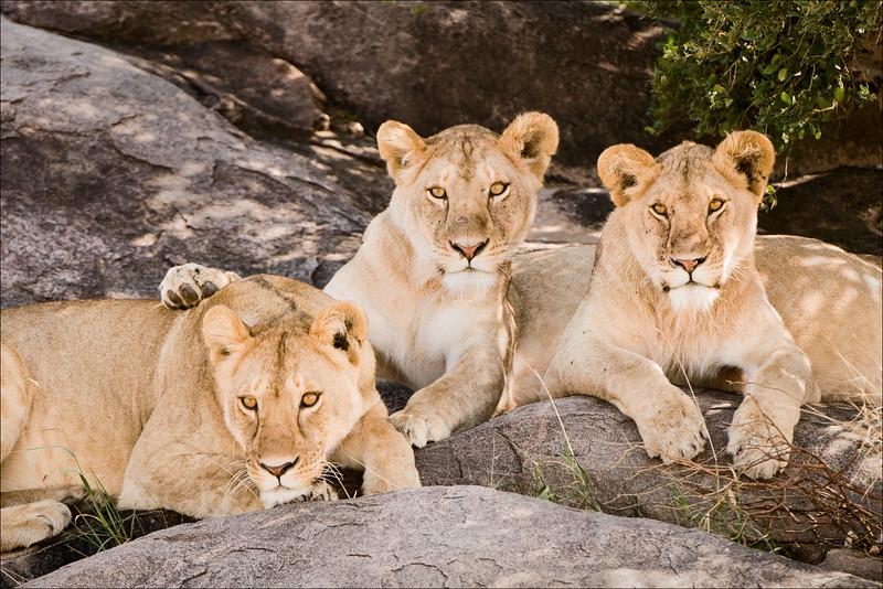 Lion Trio - #1