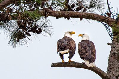 Eagle Gosip