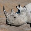 Black Rhinoceros Profile