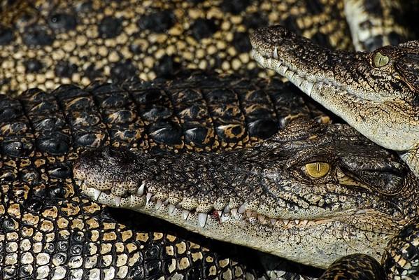 Estuarine Crocodiles #1