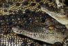 Estuarine Crocodiles - Darwin, Northern Territory, Australia