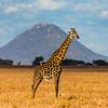 Tarengire Giraffe