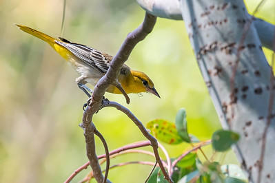 Female Bullocks Oriole
