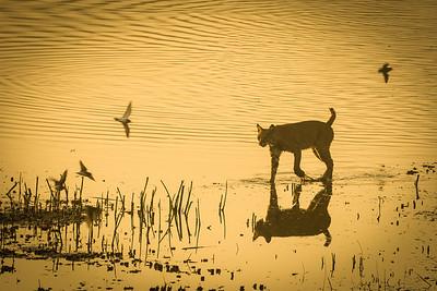 Bobcat Hunting At Daybreak