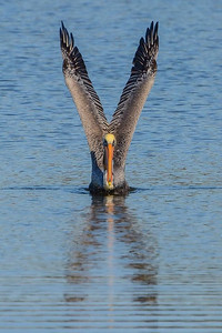 Brown Pelican - Alternate Plumage