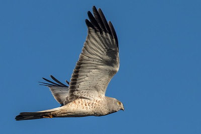 Male Northern Harrier 'Gray Ghost'