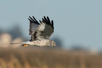 """Male Northern Harrier - 'The Gray Ghost"""""""