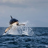 A great white breaches in False Bay, South Africa.