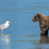 A young bear cub eyes a seagull.  Silver Salmon Creek, Alaska