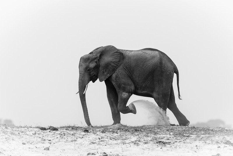 Elephant on the banks of the Chobe River between Botswana and Namibia, Africa.