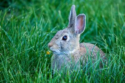 Rabbit, Bozeman, Montana