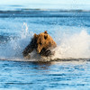 A large brown bear chases a salmon, Silver Salmon Creek, Lake Clark National Park, Alaska