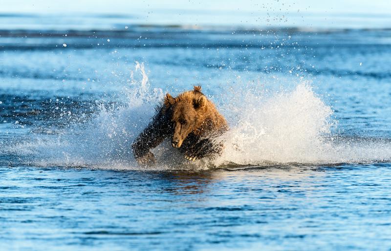 A large brown bear chases a salmon, Silver Salmon Creek, Lake Clark National Park, Alaska