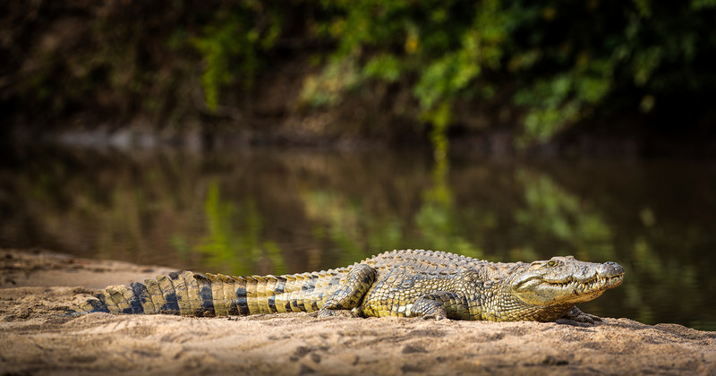 This huge crocodile, along with others were sunning themselves at Crooks Corner, confluence of the Limpopo and Luvuvhu Rivers, Pafuri, South Africa.