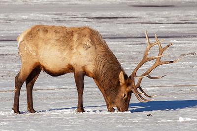 Bull Elk, Gardiner, Montana