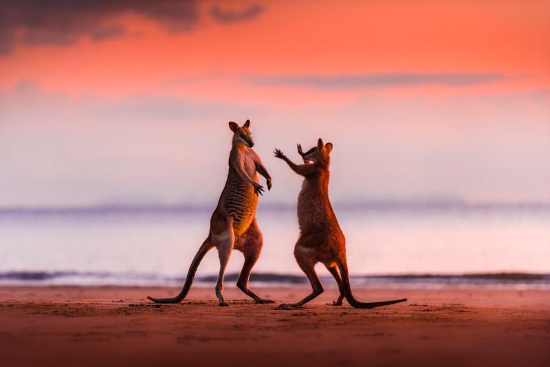 Kangaroos fighting for dominance on the beach at cape Hillsborough, Queensland, Australia just before sunrise.