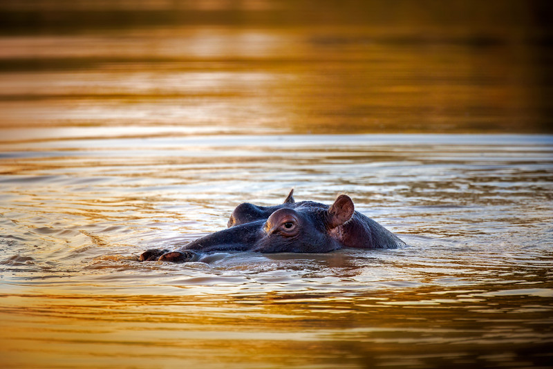 Hippo at sunset, Pafuri, South Africa