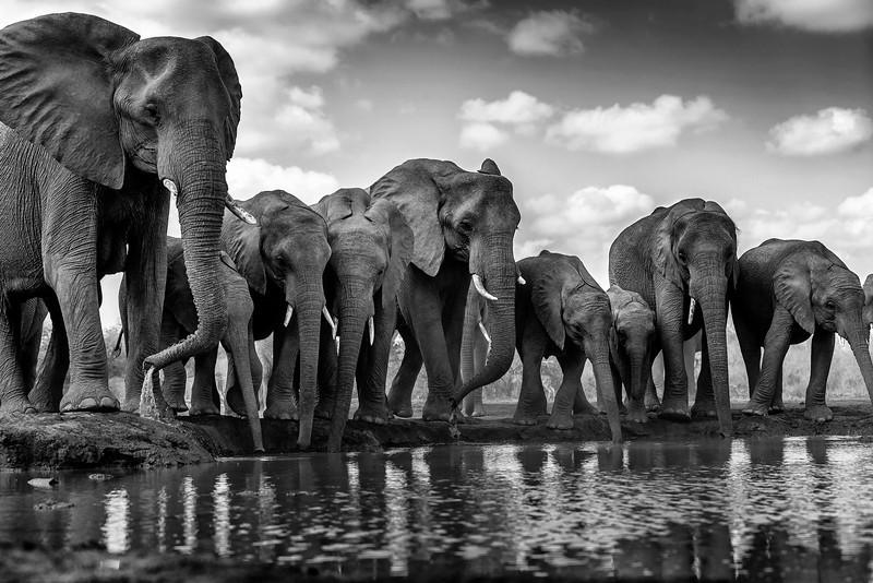 Elephants at water hole, Mashatu, Botswana.