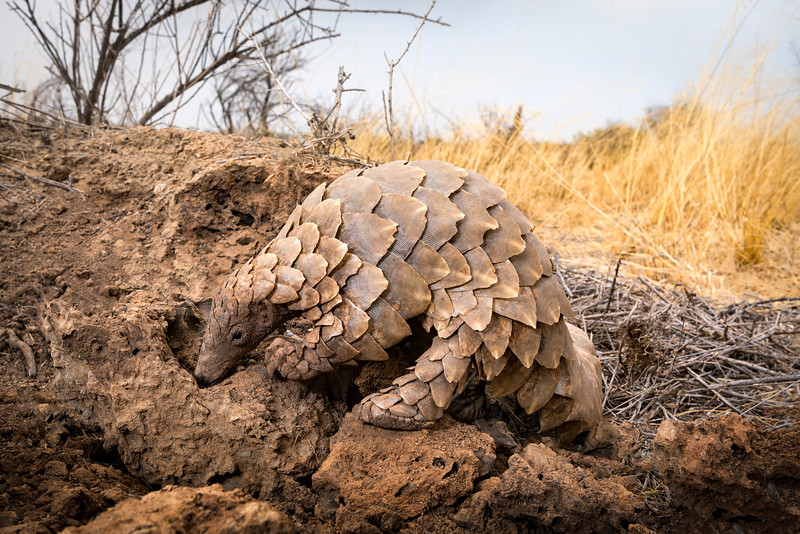 A very rare pangolin feeding from a termite mound, Namibia.