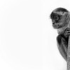 Spider monkey in black and white