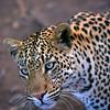 Leopard, Botswana, Africa