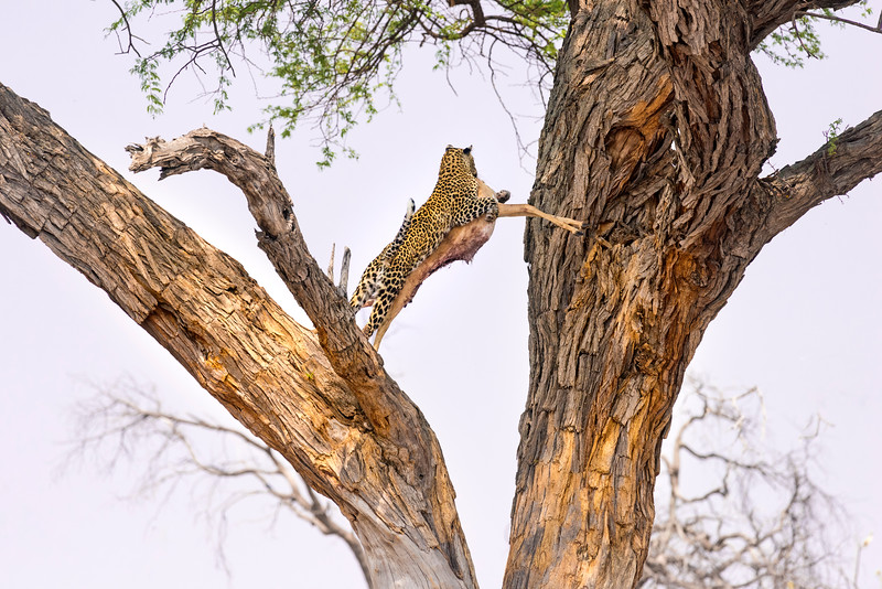 A leopard leaps between the branches of a large tree whilst carrying it's impala kill.