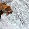Bear fishing Alaska style