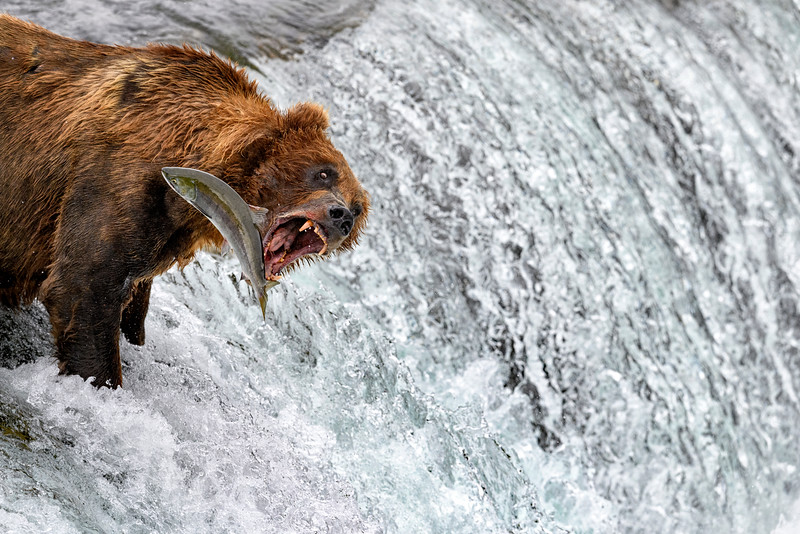 Bear fishing Alaska style