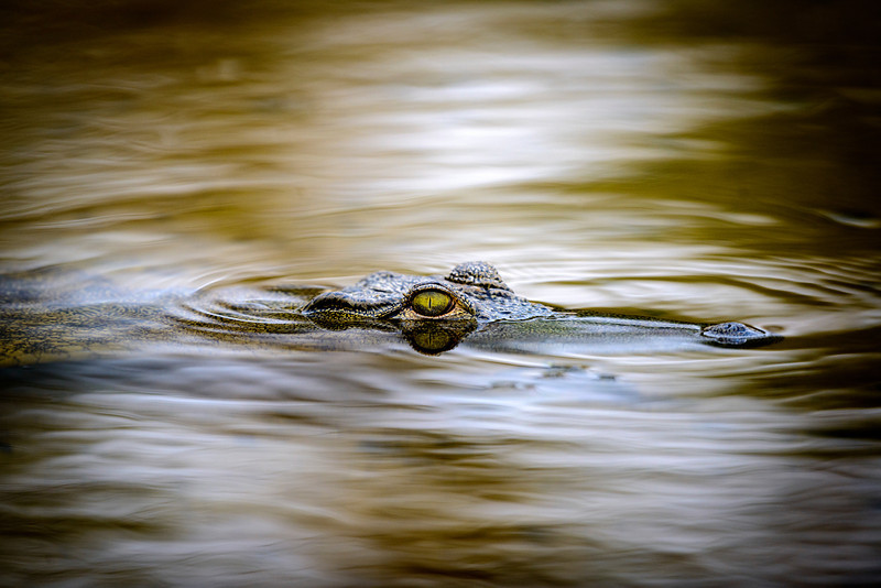 A crocodile in the glassy calm waters of the Chobe River between Botswana and Namibia.