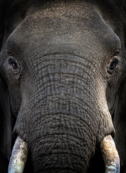 Large bull elephant - up close!!  Mashatu game reserve, Botswana, Africa