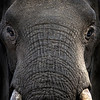 Large bull elephant - up close!!  Mashatu game reserve, Botswana, Africa